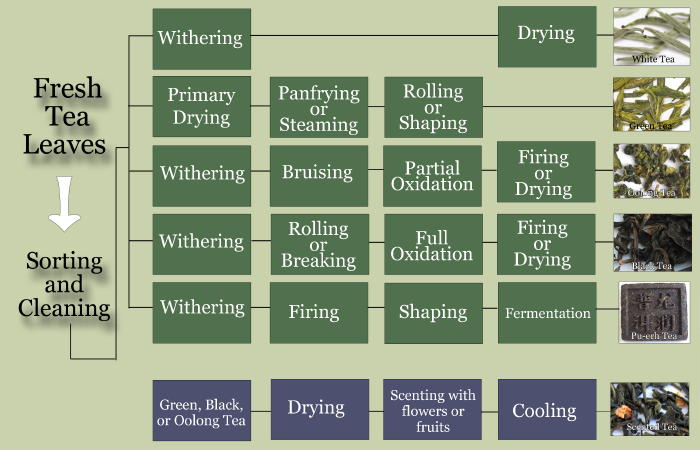 Basic Tea Information Tea Processing Chart